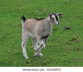 A lovely young Goat running in a green field