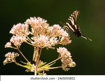 Lovely Zebra Swallowtail Butterfly feeding on pink Joe Pye Weed Wildflowers