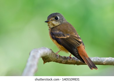 Lover little brown bird perching on wooden branch while his migratory to Thailand in non-breeding season, Ferruginous flycatcher (Muscicapa ferruginea) in family Muscicapidae