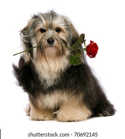 A lover tango havanese dog holding red rose in mouth isolated on white background