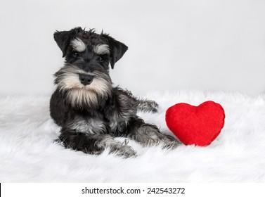 lover Valentine's Day schnauzer puppy dog with a red heart