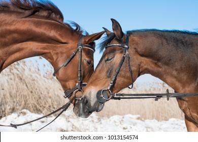 Lovers horses hug. Valentine day