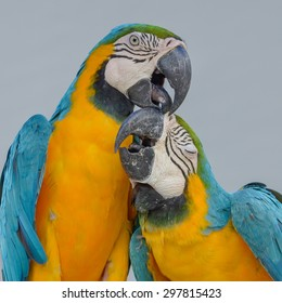 lovers Parrots, macaws