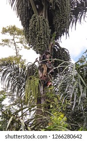 LOVINA, BALI, INDONESIA-APR. 15, 2014:  High up in a Date Palm Tree and Indonesian man picks dates.