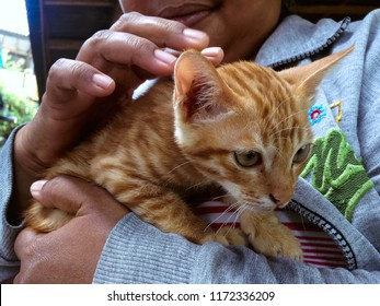 Loving With Brown Kitten In The House At Ringdikit Village, North Bali, Indonesia