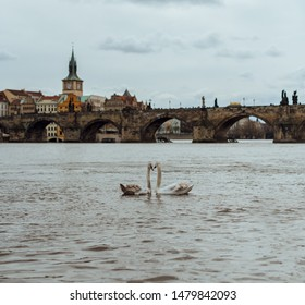 Loving couple of swans, face to face, in the middle of the Vltava river, with the Charles bridge in the background in Prague. Couple of birds. Animals.