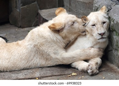 Loving couple of white lions