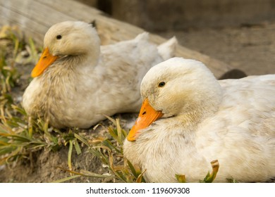 Loving duck couple.