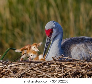 Loving Sandhill Crane mother with two chicks