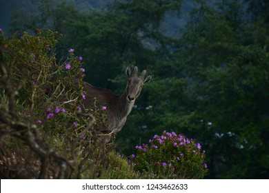 Loving scene of Nilgiri Tahr looking through the blooming bushes of Eravikulam National Park, Munnar, Kerala, India