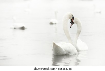loving swans forming a heart valentines day