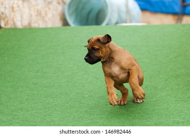 A lovley and cute Rhodesian Ridgeback puppy is playing and feels like a little stage hog.
