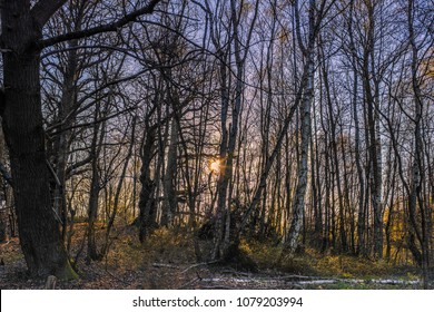 Low afternoon sunlight shining through a copse of tall thin bare dense silver birch trees. The dark image has a sinister, scary dark feel as though it is night time