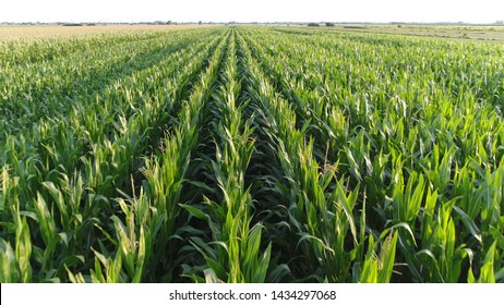 Low altitude aerial photo of maize also known as corn is a cereal grain which has become a staple food in many parts of the world with the total production of surpassing that of wheat or rice