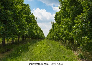 low angel shot of lush green grass between rows of apple trees on orchard under blue summer sky