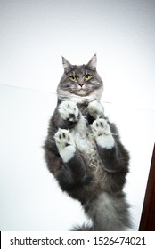 low angle bottom up view of a cute blue tabby maine coon cat sitting on glass table looking down at camera in front of white background