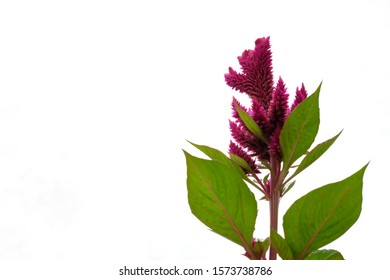 low angle of celosia argentea L. flower isolated on white background