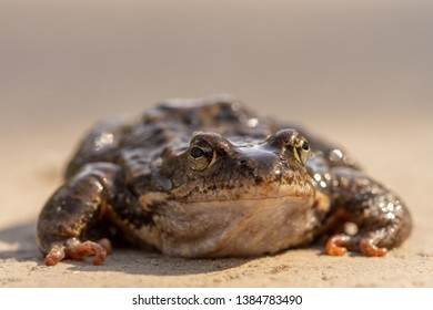 Low angle close up view of a large slimy toad sitting on the ground in spring sunlight