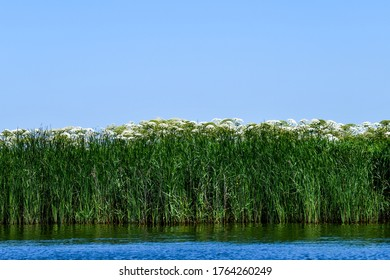 Low angle close up view from the water towards the reeds beds and giant hogweed along one of the Frisian lakes in the Netherlands with a clear blue sky
