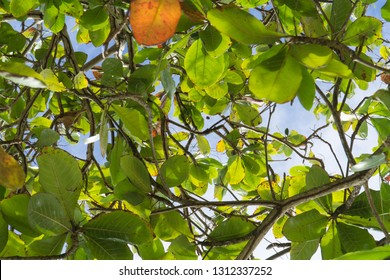 Low angle closeup macro of tropical exotic tree branches, with its wood, green, yellow & orange leaves everywhere, blue & white sky in background, Martinique, dom tom, Antilles creole, West Indies.
