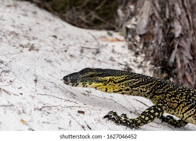Low angle close-up shot of a Lace Monitor, commonly known as Tree Goanna (Varanus varius), a lizard species crawling through white sand at Lake McKenzie, Fraser Island, Queensland, Australia.