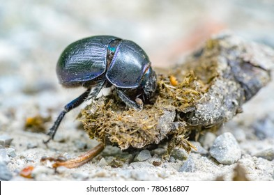 low angle closeup shot showing a dung beetle with dung