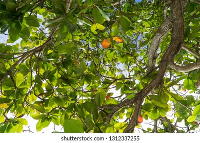 Low angle closeup of tropical exotic tree branches, with its wood, green, yellow & orange leaves everywhere, blue & white sky in background, Martinique, dom tom, Antilles creole, West Indies.