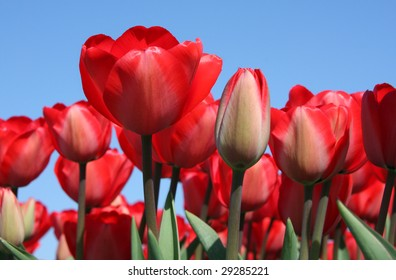 A low angle close-up of a tulip field in bloom.