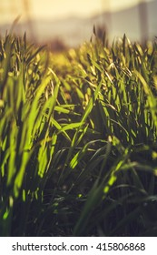 Low angle closeup in a young green rye field in the morning warm sunlight. Shallow depth of field.