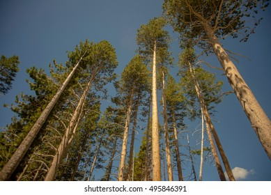 Low angle of evergreen trees
