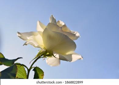 Imagen de ángulo bajo de una rosa blanca aislada cuando el sol se rompe por ella.