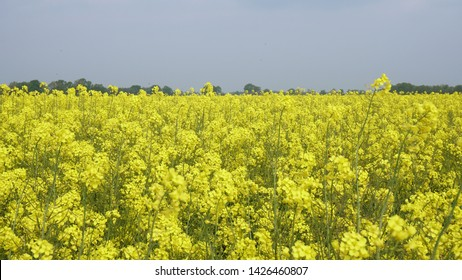 At a low angle looking over a field of flowering rapeseed (canola) with a beautiful yellow color, it is grown for vegetable oils but can also be used for the production of biodiesel