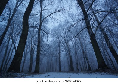 Low angle on frosty trees in misty woods.
