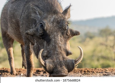 A low angle photo of a male warthog drinking at a waterhole. big warts and tusks.