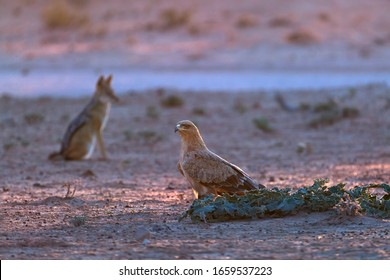 Low angle photo of Tawny eagle and Black Backed Jackal, Canis Mesomelas on ground, colorful light. African wildlife photo, Rooiputs waterhole. Traveling Kgalagadi transfrontier park, Botswana, Africa.