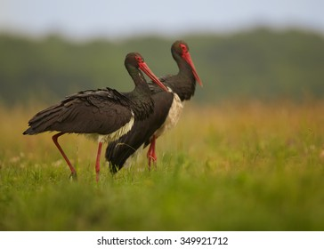 Low angle photo, two Black Storks, Ciconia _nigra on hunt in summer grassy steppe, against distant blurry green background. Wildlife photography in Hortobagy, Hungary, Europe.