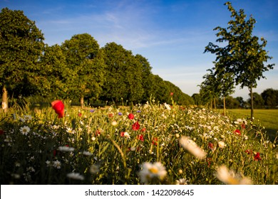 Low angle photo of a wild flower verge next to a line of trees. Multiple blooms can be seen with a short depth of field. Poppies, daisies and other varieties along with lush green grass. Sky is blue
