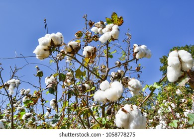 Low Angle photograph of Cotton Blooming in Field