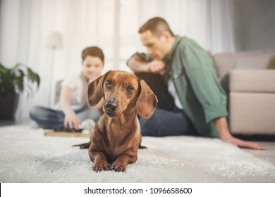 Low angle portrait of cute dog resting on rug and looking forward with interest. Father and son are playing checkers on background
