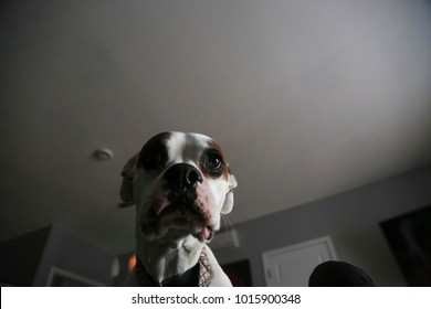 Low angle portrait shot of a funny goofy white boxer dog against a grey neutral background
