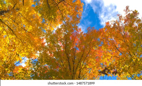 LOW ANGLE POV, CLOSE UP: Spinning under colorful foliage tree canopies on beautiful sunny day. Colorful leaves on tall tree branches fluttering in wind. Walk through vibrant autumn fall foliage forest - Shutterstock ID 1487571899