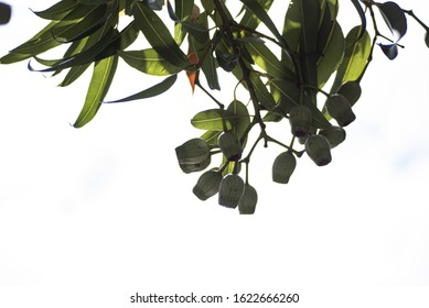 A low angle shot of bay laurel branches on a white background