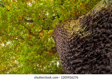 Low angle shot of a big Oak (Quercus) tree with a strong trunk, rough bark and many intertwining branches with a colourful fall foliage like a piece of art on a golden autumn day in Germany.