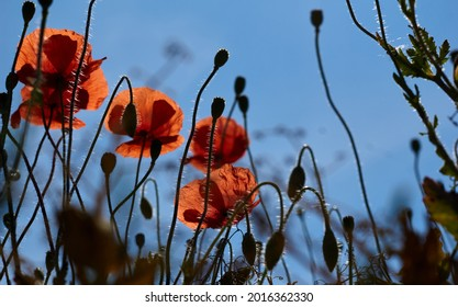 Low angle shot of bright red poppies against a blue sky. High quality photo