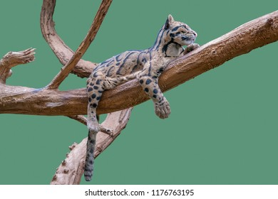 low angle shot of a Clouded leopard resting on a bough in green back