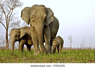 Low angle shot of a Female Asian elephant with her calves in Kaziranga national park