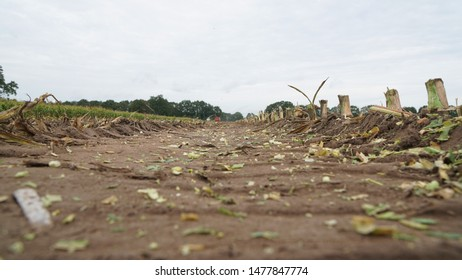 Low angle shot of a harvested maize field, with the maize stubble and flakes of chopped maize left on the trail of the silage wagon which together with the forage harvester can be seen in the distance