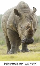A low angle shot of a white rhinoceros feeding.