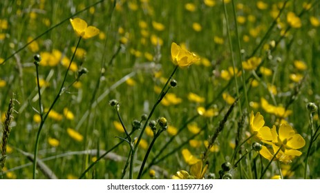 254b9f468d7 Ranunculus Bulbosus Images, Stock Photos & Vectors | Shutterstock