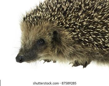 low angle sideways hedgehog portrait. Studio photography in white back